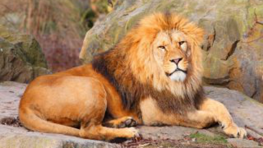 The African Lion ( Panthera leo leo ) male.